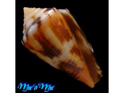 Conus sp./GEM New specie /23.5 mm