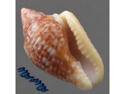 Columbella mercatoria (Linnaeus, 1758)/F+ (WR: 22.6 mm)/18.8 mm