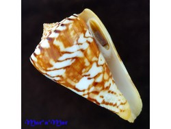 Conus centurio Born, 1778 / F++  Discret scar near lip / 52.0 mm