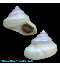 Calliostoma coppingeri (E.A.Smith, 1880)