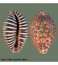 Jenneria pustulata Lightfoot, 1786